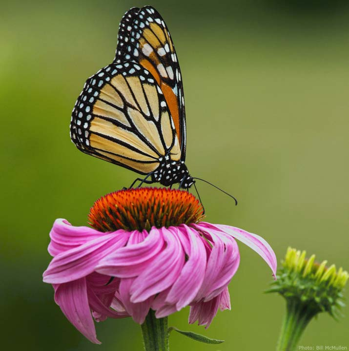 Monarch butterfly on echinacea flower