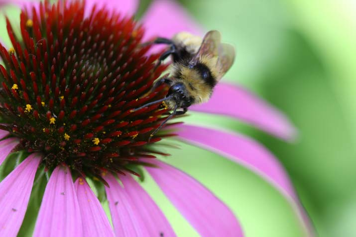 bee on flower echinacea