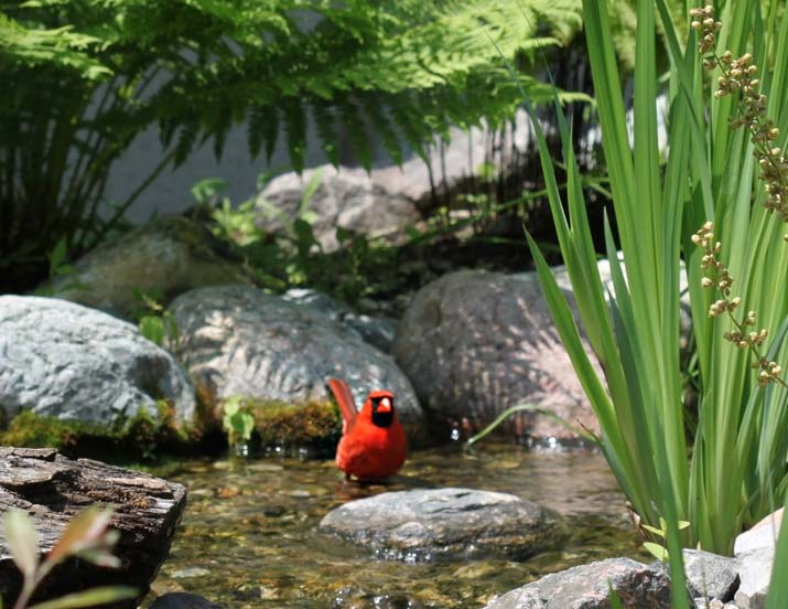 Cardinal standing in a pond