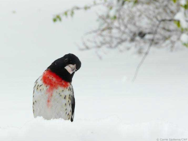 Rosebreast grosbeak in winter