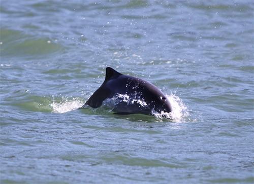 harbour porpoise