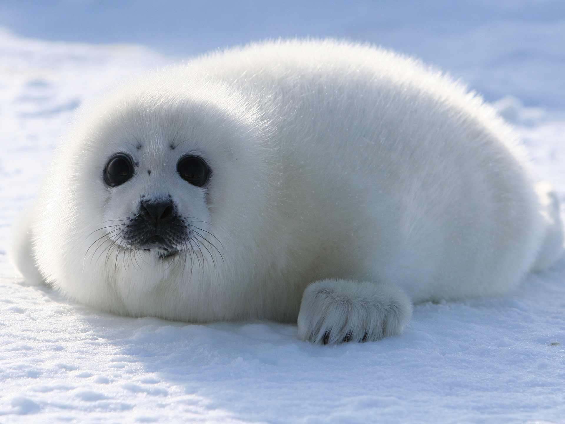 harp,seal,cute,mammal,pup