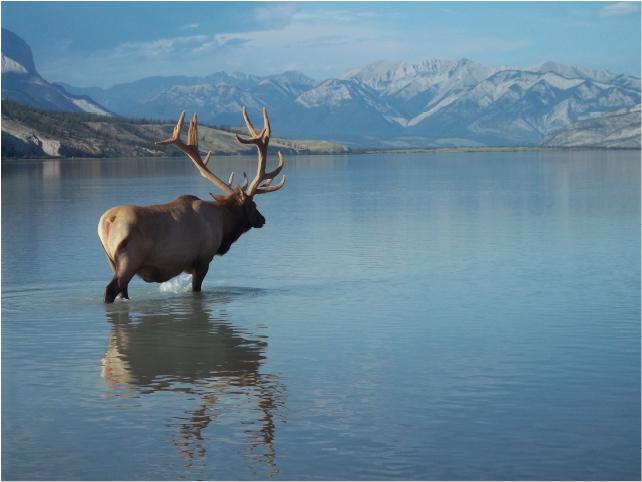 caribou on lake