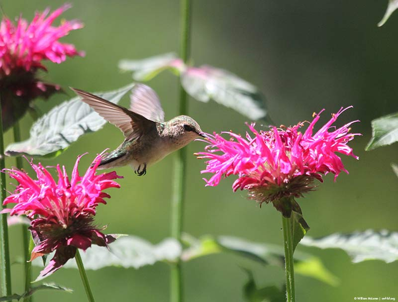 hummingbird pink flowers
