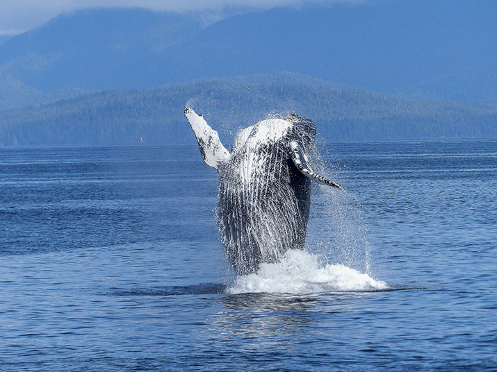 Humpback Whale breaching the water in the ocean