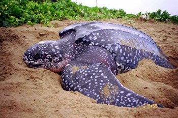 Following Leatherback Sea Turtles as they Migrate to their Southern Nesting Grounds