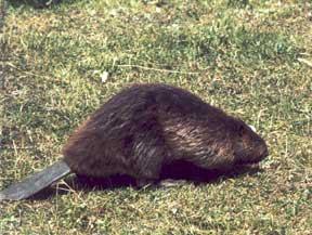 beaver_web.jpg