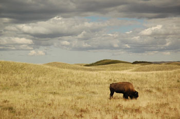 A bison in the prairies