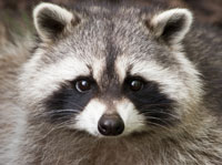 raccoon(1).jpg