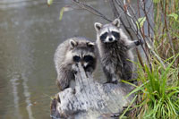 Raccoons by a pond and tree stump