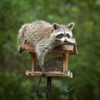 Raccoon on a birdfeeder