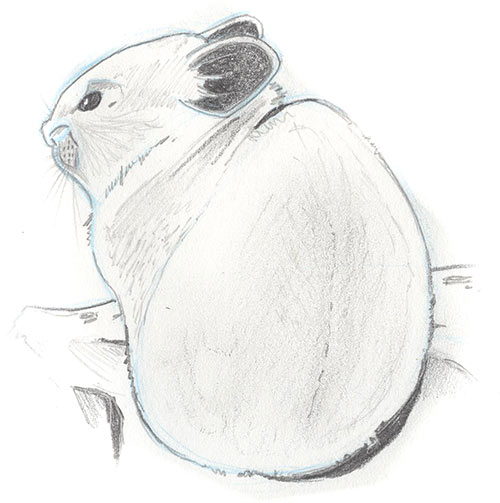 Illustration of an American Pika