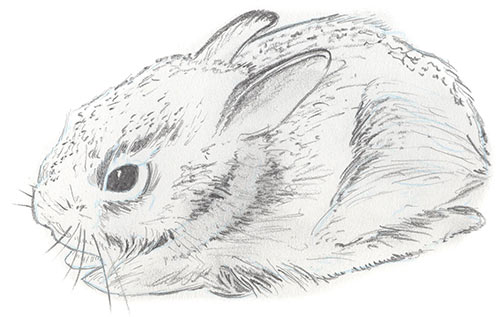 Illustration of Eastern Cottentail Rabbit