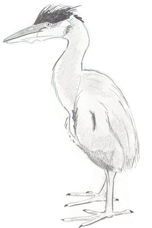 Illustration of Great Blue Heron