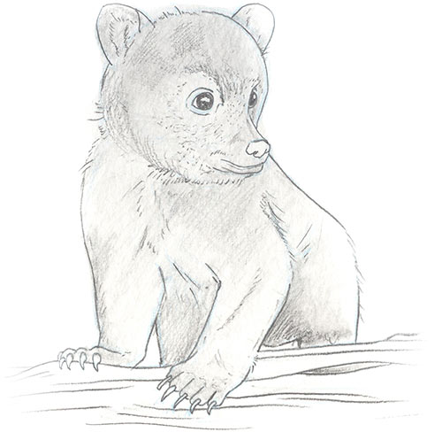 Illustration of black bear cub