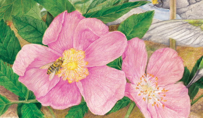Hoverfly on wildrose illustration