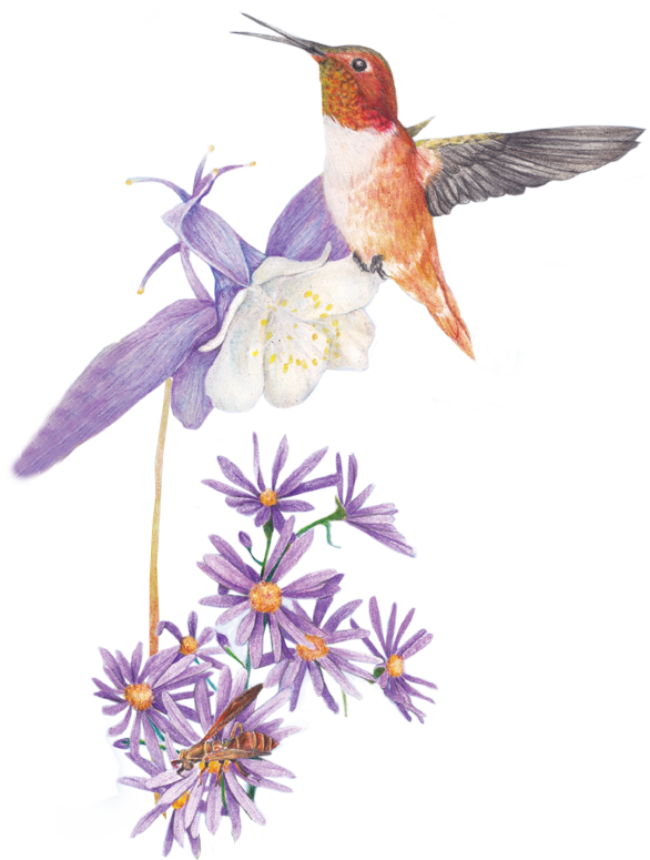 Illustration of hummingbird with Aster flower