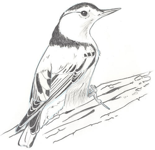 Illustration of a white-breasted nuthatch bird