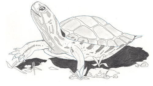 Illustration of female painted turtle