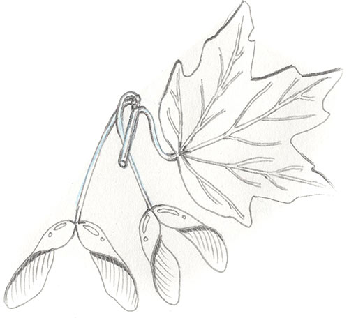Illustration of maple seed