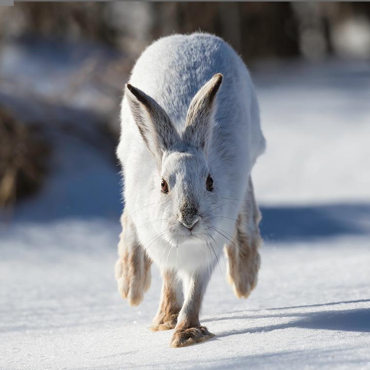 bunny running in snow