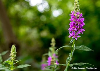 invasive plant