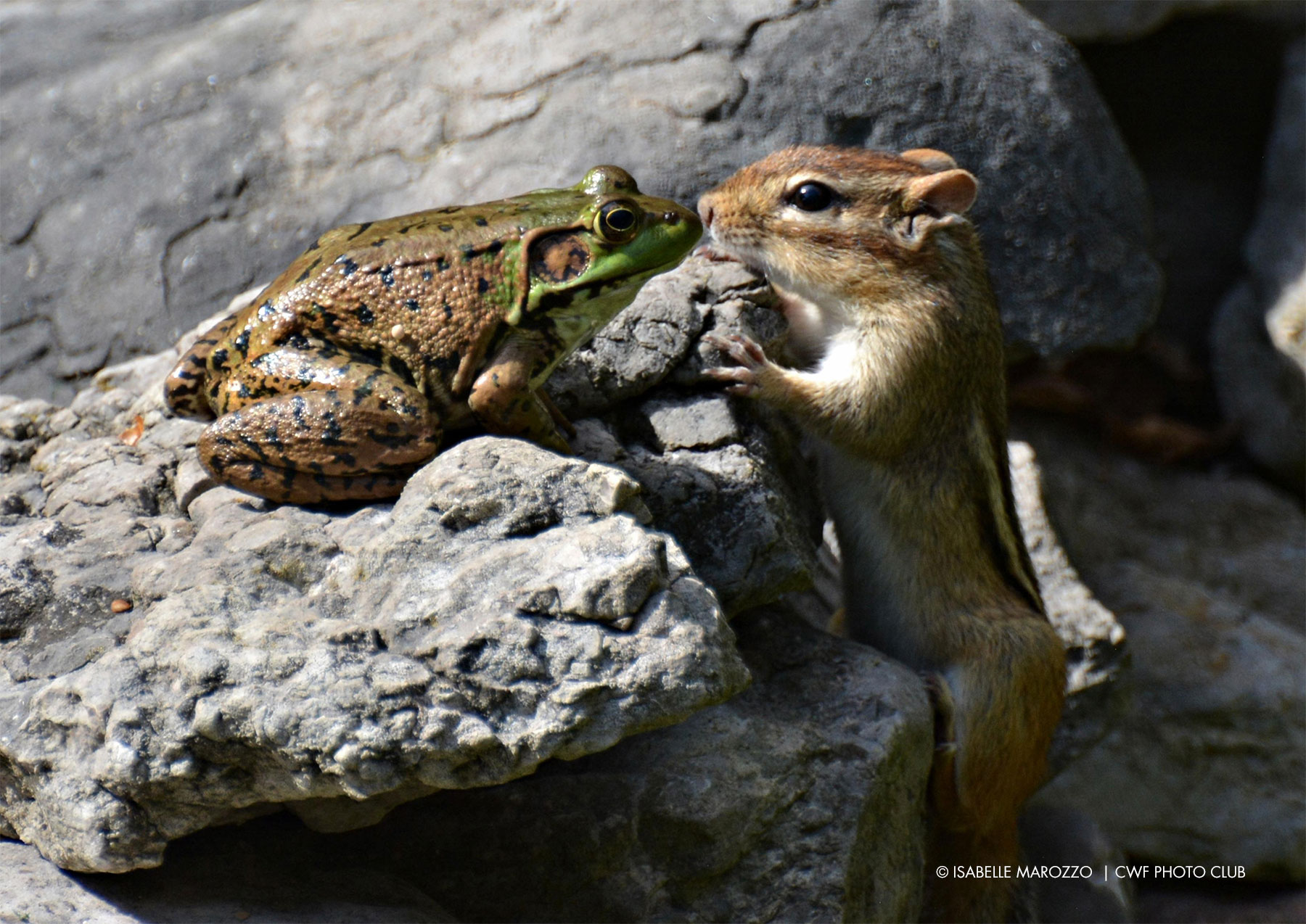 chipmunk green frog