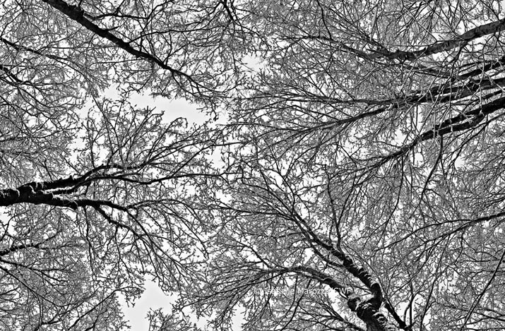 Tree branches cover in frost