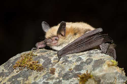 Fringed bat