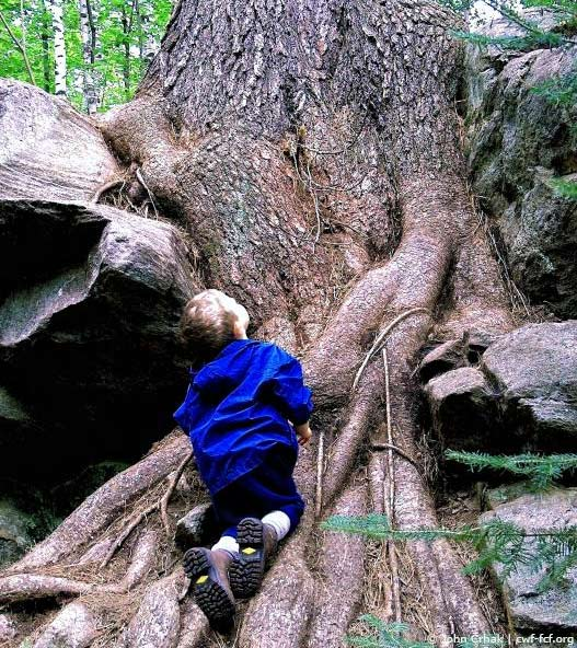 Boy looking at a tree root system for a large tree