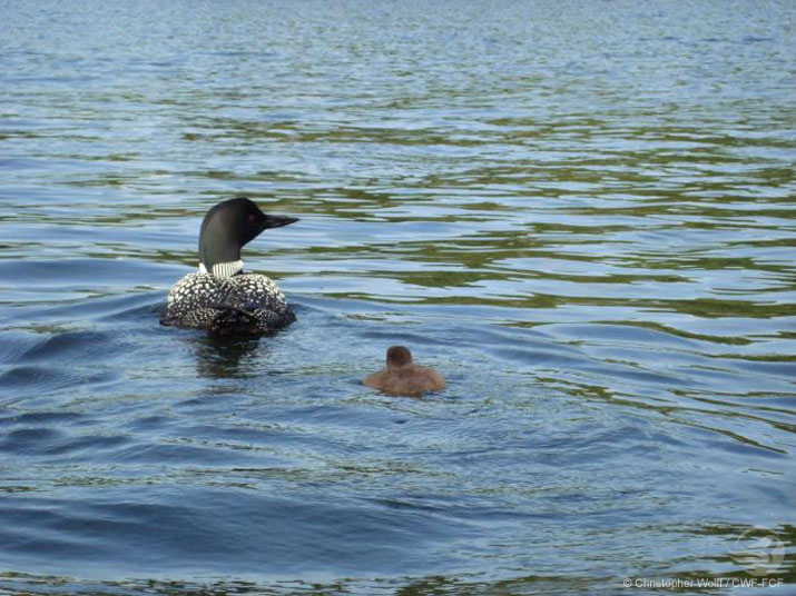 Mother and baby loon on a lake