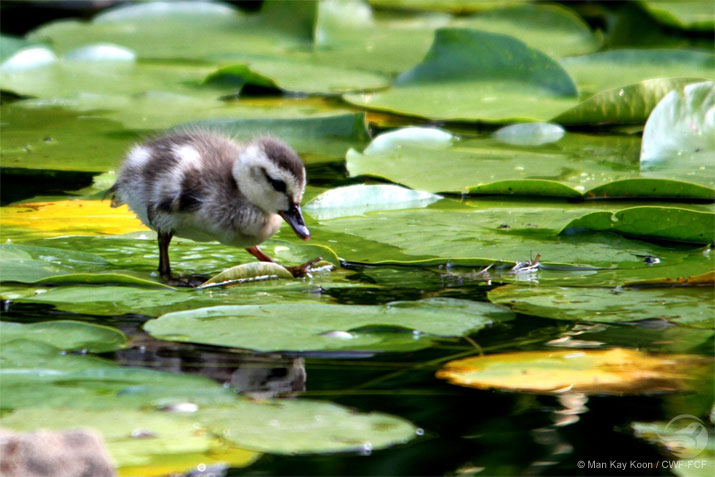 Duckling on lilypads