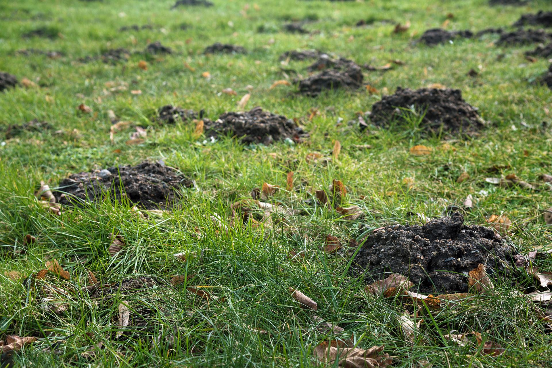 lawn problem grub