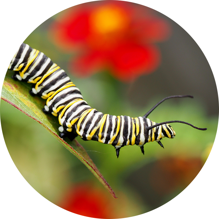 monarch caterpillar leaf