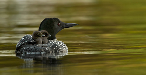 Mother loon with baby loons on her back