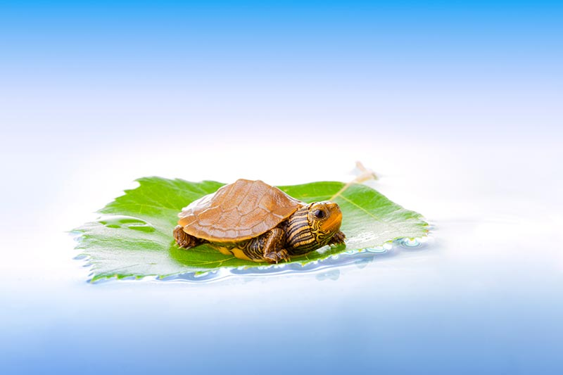 map turtle on leaf baby