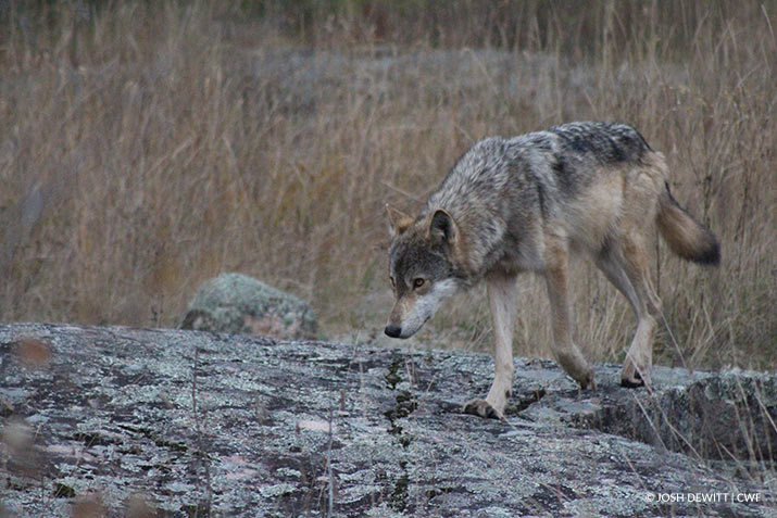 Wolf walking over a rock