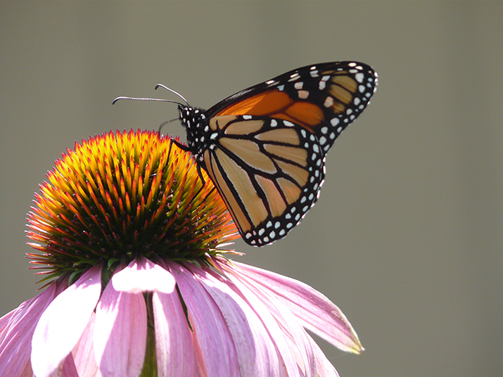 Monarch on coneflower
