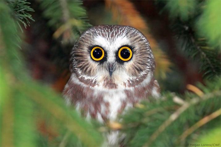 Megan Lorenz owl