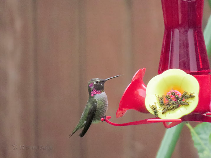 Hummingbird feeder with wasps around it