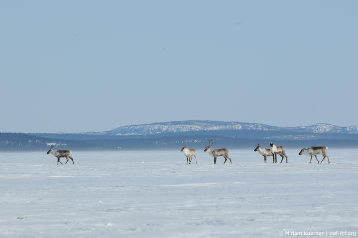 Caribou in the tundra