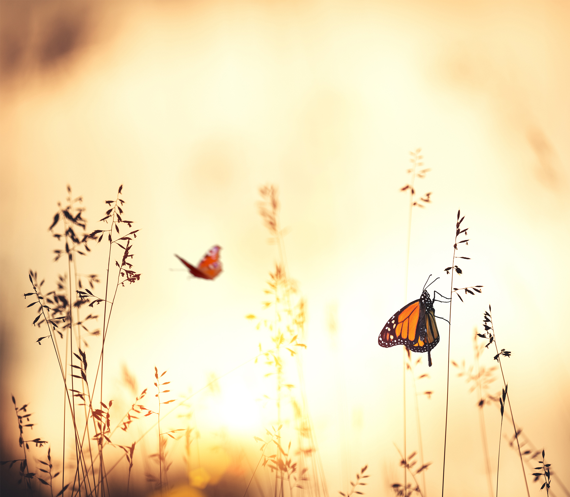 monarch butterfly flying during sunrise