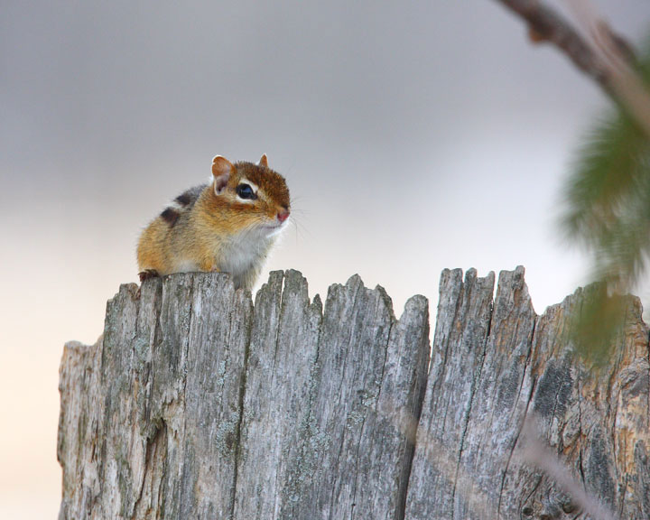 Chipmunk on a fence
