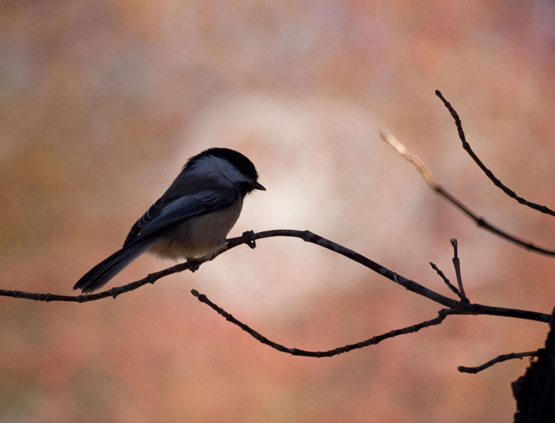 Chickadee rests in the shade