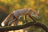 Fox on Branch