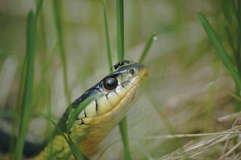 Grand Prize Winner - Garter snake with ant
