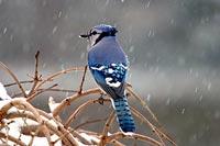 Bluejay in winter