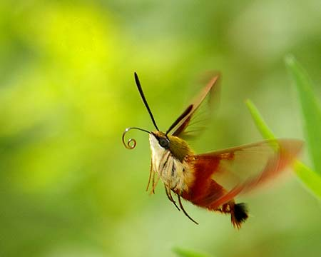 Hummingbird Moth in flight
