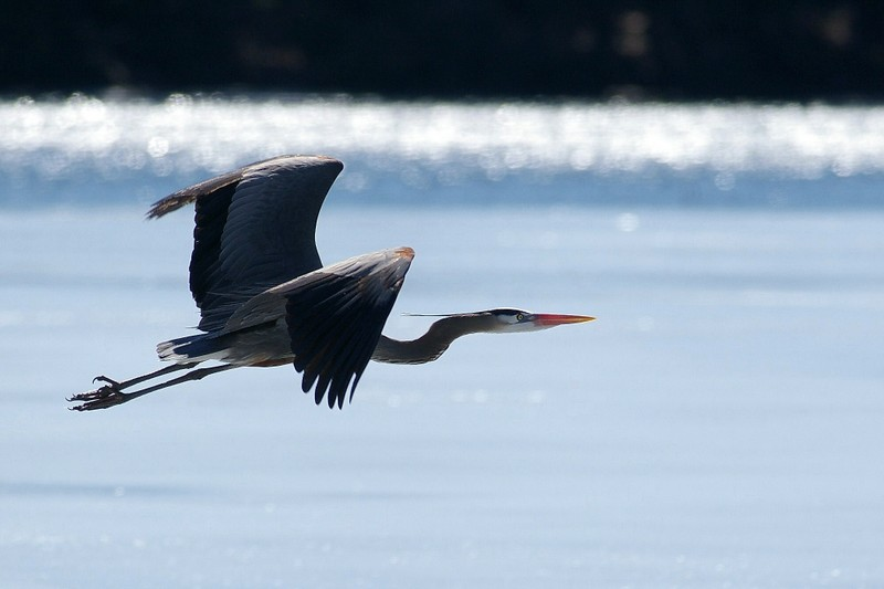 The Great Blue Herons that have a nesting colony close to my home near Ivy Lea on the St. Lawrence River.