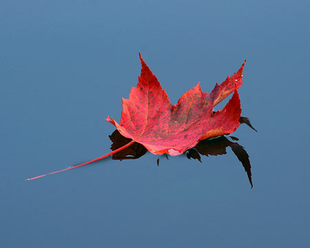 The lazy course of a red maple leaf floating down-river is a tell tale sign that autumn has arrived.